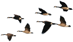 some geese
