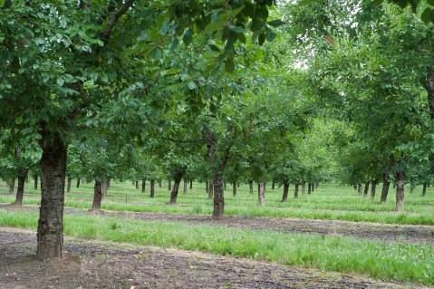 Plum trees at New Hamlet