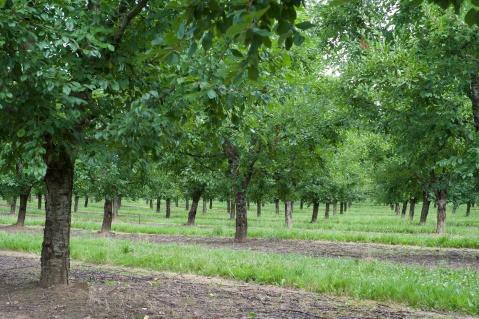 Plum trees at New Hamlet