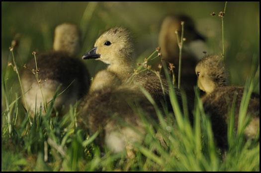 baby-canada-goose-goslings-12363